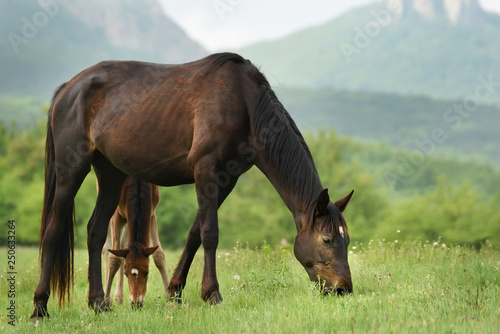 Horse with a foal grazing on a green meadow in the mountains.