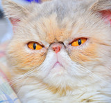 exotic persian cat