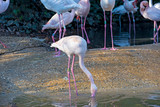 Group of flamingos in a pond - 250645869