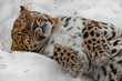 Quadro Amur leopard sleeps (rests) in the snow, the animal comfortably collapsed and relaxed,