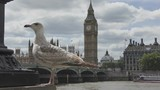 A seagull and the Big Ben on the background. - 250657620
