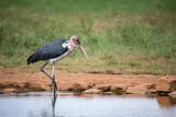 Marabu bird is standing in the near of waterhole