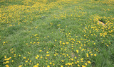 Dandelion at Spring day - 250664429