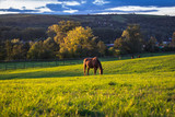 Thoroughbred horses are grazing grass on pasture