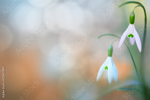 Leinwanddruck Bild  pair of snow drops early spring white wild flower, background. Galanthus nivalis is blooming during winter and one of the first wildflowers of the year.