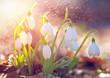 Leinwandbild Motiv Spring snowdrop flowers blooming in sunny day. Shallow depth of field