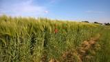 feld, himmel, weizen, natur, landschaft, mohn, gras, ackerbau, sommer, green, blume, wiese, rot, pflanze, blau, frühling, bauernhof, ernte, getreide, bäuerlich, land, mohn, corn, blume, getreide