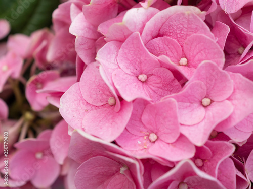 Hydrangea flower background,with soft color for wallpaper decoration - 250779483