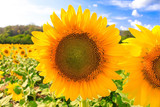 Sunflower natural background. Sunflower blooming. Close-up of sunflower.growing sunflower oil beautiful landscape of yellow flowers of sunflowers against the blue sky,