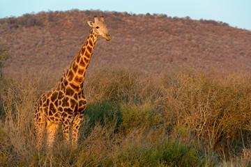 South African giraffe or Cape giraffe (Giraffa camelopardalis giraffa). North West Province. South Africa