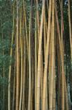 Bambou au jardin
