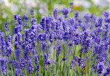 lavender flowers in the garden close up