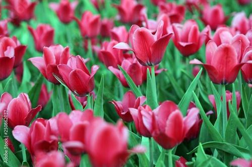 red tulip at spring - 250862037