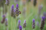 Lavander and a Bee