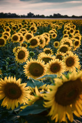 Agricultural landscape with sunflowers field