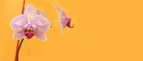 pink Orchid flowers on bright yellow background