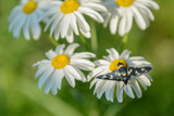 on the daisy flowers on a green background sits beetle