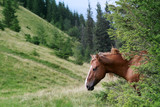 Horse in the thickets of spruce in its natural habitat