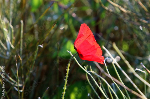 in a city park in Israel in February red poppies bloomed - 250987012