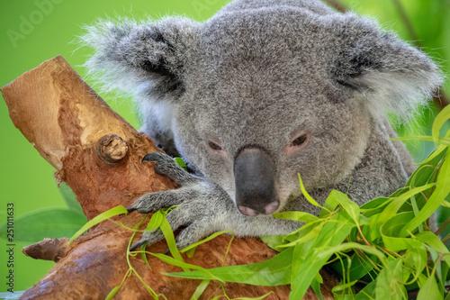 obraz PCV Koala Bear Close up