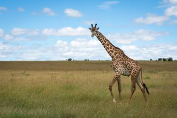 lonely giraffe in Masai Mara