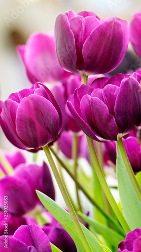 Beautiful tulips flower in tulip field at winter or spring day - 251025063