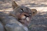 Lwy z Kalahari