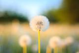 Blooming white dandelions