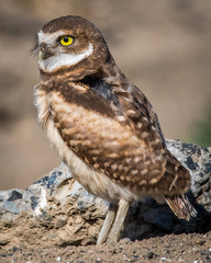 Burrowing Owls in the plains of Washington State near Pasco