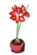 A lush inflorescence of red hyperastatum or amaryllis on a powerful green stem growing from a red flowerpot. Hand drawn watercolor illustration.