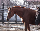 Beautiful red horse walks in the spring sun in the pen