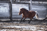Red pony walks in the spring sun in the pen