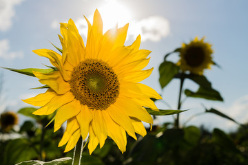 blooming sunflower in the sun