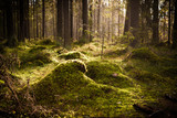 Moss undergrowth in coniferous forest