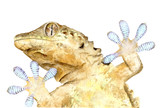 watercolor drawing of animal: gecko, bottom view