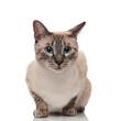 Leinwandbild Motiv adorable burmese cat with blue eyes looks to side