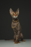 Cute little peterbald cat wearing a golden chain