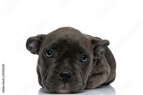 american bully resting on his paws