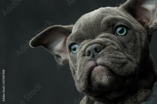 mata magnetyczna head of a american bully puppy looking away to side