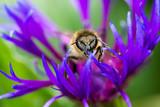 abeille butine centaurée