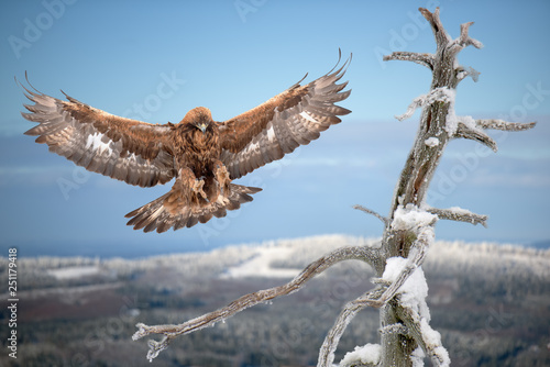 Golden eagle landing on  on a branch of a dead tree with hazy blue sky in background