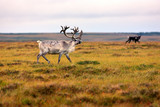 Beautiful deer in the tundra of Sweden. Autumn in the Arctic