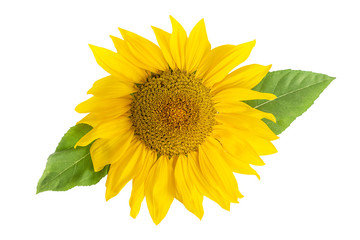 Sunflower Head With Leaf Isolated On White Background