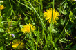 Bright blooming yellow dandelion flowers in meadow on spring time.