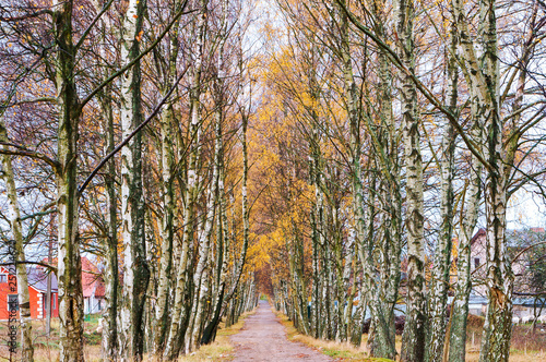 birch on the edges of the road - 251224670
