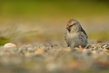 Arctic Redpoll - Acanthis hornemanni known in North America as the hoary redpoll, is a bird species in the finch family Fringillidae