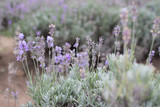 Blooming lavender fields in Bulgaria. Purple lavender flowers. Lavender bushes. Blooming lavender. Bee on a flower. Lavender honey and oil.