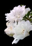 Three Focused Stacked White Azaleas Isolated on Black