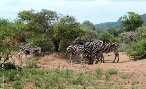 Zebras in South Africa - 251257655