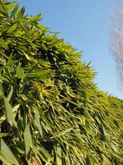 bamboo tree leaves © Claudio Divizia